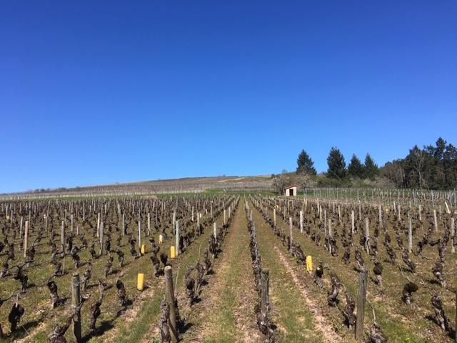 Le travail de la vigne continue durant la pandemie